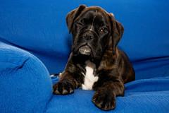[フリー画像] 哺乳類, イヌ科, 犬・イヌ, 子犬・小犬, ボクサー (犬), 201007221100
