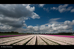 White clouds over the Tulips... (Alex Verweij) Tags: blue sky white netherlands lines clouds canon dark purple tulips bleu explore tulip wit 1022mm flevoland almere tulpen 426 paars lijnen akker mywinners abigfave almerehout alexverweij