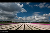 White clouds over the Tulips... (Alex Verweij) Tags: blue sky white netherlands lines clouds canon dark purple tulips bleu explore tulip wit 1022mm flevoland almere tulpen 426 paars lijnen akker mywinners abigfave almerehout alexverweij