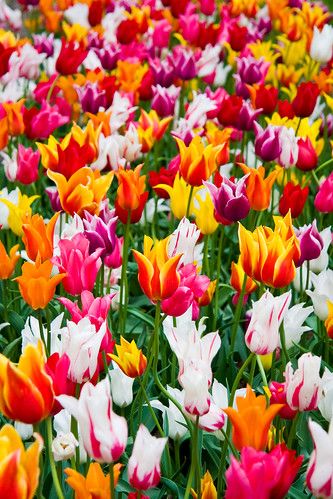 Veldheer's Tulip Farm. Holland Michigan-320