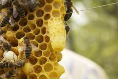 Unverdeckelte Weiselzelle (blumenbiene) Tags: bees cell queen hive swarm beekeeping bienen schwarm apiculture imkerei bienenvolk weiselzelle königinnenzelle