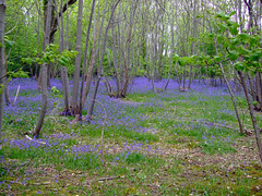 Clarion. Bluebells on Woodmancote Lane