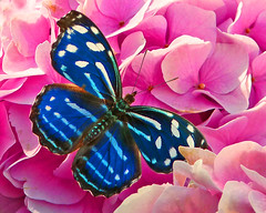 Common Banded Purple Wing Butterfly (njchow82) Tags: pink flowers blue white plant nature closeup contrast butterfly insect orchids vibrant wildlife macrolife beautyunnoticed njchow82 dmcfz35 commonbandedpurplewingbutterfly