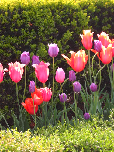 Tulips in Millenium Park