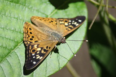 Hackberry Emperor (Mean and Pinchy) Tags: butterfly insect emperor hackberryemperor asterocampaceltis topoisonivy ithinkitsbecause idontreact imallergictopractically everythingelseonearth sofatedecided tocutmeabreak