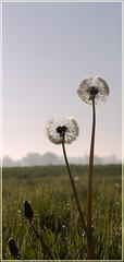 Dandelions (yvonnepay615) Tags: nature lumix countryside panasonic g1 dandelions 1445mm 43365