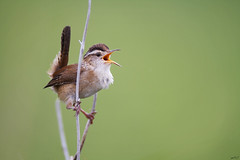 Marsh Wren (Matt Bango) Tags: nature birds canon singing song wildlife 7d wren wildbirds marshwren cistothoruspalustris 600mm