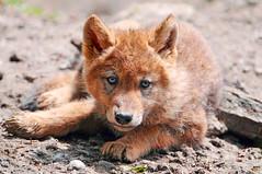 [フリー画像] 動物, 哺乳類, イヌ科, 狼・オオカミ, 201005311500