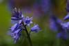 bluebell (Skink74) Tags: flowers blue plant 20d garden spring dof purple bokeh canoneos20d bluebell scylla nikkor35f14 scyllanonscripta nikkor35mm114ai
