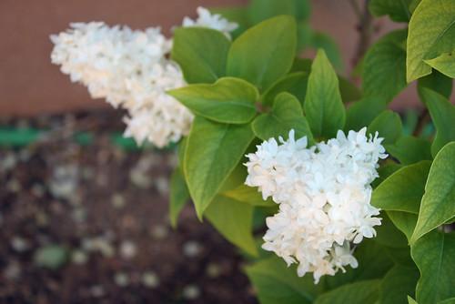 White lilacs.