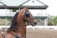Saddlebred Stallion in Harness (Just chaos) Tags: from horse view you photos or everyone ungulate animalia mammalia equus domesticated equidae chordata perissodactyla oddtoed caballusx