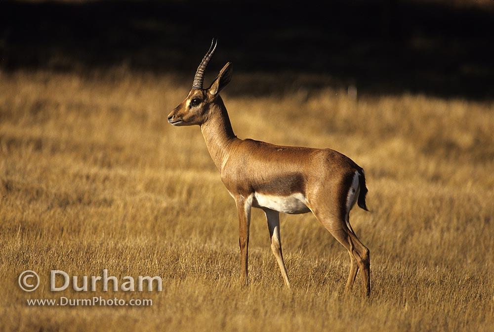 Cuvier Gazelle (Gazella cuvieri)
