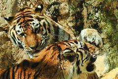 L'Attacco (jojofotografia) Tags: parco color colors zoo nikon colore shot tiger sigma tigers 28 700 colori 70200 tigre animali animale battaglia composizione attacco scontro cattivit sigma70200 inquadratura combattimento specanimal d700 nikond700