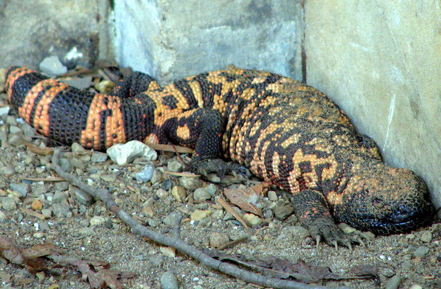 Knoxville Zoo Gila Monster