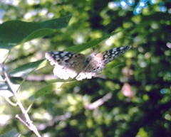 butterfly in a texas woodland 2
