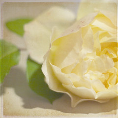 [my love] (.cascata.) Tags: summer flower texture love rose yellow soft pale bylesbrumes