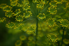 Patterns in the Dill Flowers (ellievanhoutte) Tags: flowers ohio summer plants color texture feet nature wire rust pattern farm blossoms repetition grandrapids grandrapidsohio zucchiniblossoms