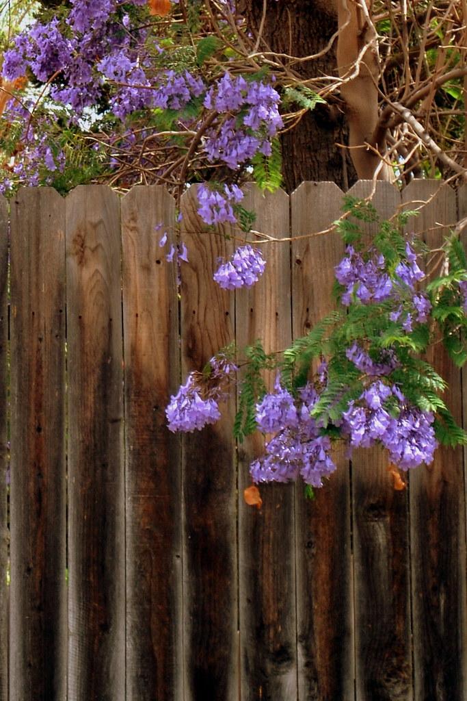 Jacaranda Fence