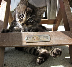 Take me to the Kittens (jurvetson) Tags: 3 cute eye cat kitten sparkle mainecoon aw ralphlauren keeper