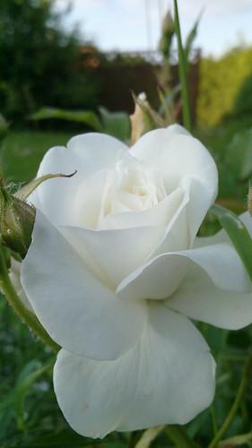 Weiße Rose by Enrico Murche.
