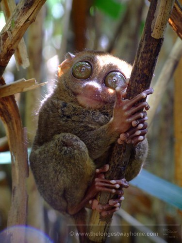 Tarsier from Bohol, Philippines