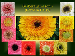 Collage of Gerbera jamesonii (Barberton/Transvaal/African Daisy, Gerber Daisy), with focus on the central disks