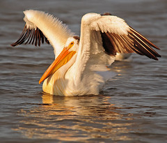 a fish tale . . . (anniedaisybaby) Tags: summer lake bird water pelican manitoba wetlands handheld graceful gimli americanwhitepelican lakewinnipeg pelecanuserythrorhynchos afishtale nikond300 icelandicairforce biggun400mm