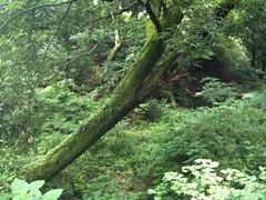 実家の庭のとなりの林。斜めの木がポイント