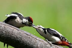 Great Spotted Woodpecker feeding a juvenile (Alastair Begley) Tags: birds scotland woodpecker feeding great hide spotted juvenile rspb lochwinnoch