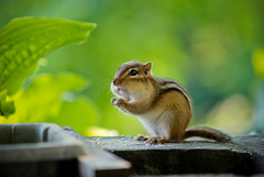 can i have some more ? plllssssss (Chief Inspector Jacques Clouseau) Tags: ontario canada nature dof minolta bokeh sony chipmunk beercan dslr a200 f4 70210mm