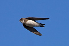 sandmartin in flight (blackfox wildlife & nature imaging) Tags: nature birds canon wildlife birdsinflight bif sandmartin supershot 40d bbcwalesnature 400mml