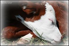 Newborn (healthyknh) Tags: ranch baby cowboys rural cow cattle sleep farm wyoming calf branding cheyenne ranching laramiecounty sparkshutterbugs