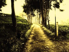 Trecking track (Janesha B) Tags: pictures trees nature srilanka teaestate