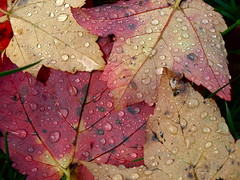 Ahh, That Fall Rain (Lindsey Miles Photography) Tags: ny fall leaves drops seasons waterdroplets