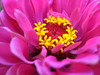 zinnia shocking