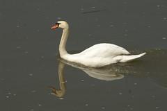2008-04-26 7D JB 0013# (cosplay shooter) Tags: swan schwan cygne cisne mosel zell zwaan svan cigno 100b x201602