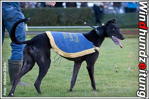 Greyhound Winner Grote Prijs van Beringen*: Lou Lou