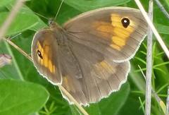 Meadow Brown Butterfly (Steeple Ducks) Tags: butterfly butterflies wiltshire upton scudamore a350 bank embankment verge road