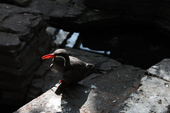 Happy chappy (gina.nicole.tesloff) Tags: inca tern bird exotic black feather cute happy red beak wildlife white water enchanting eye rock texture outdoors pattern pretty perspective artistic animal sun shadow sunlight detail depth dark glow graceful light life zoology canon colour colourful creature cheeky clever camouflage beautiful bright beauty nature natural wings