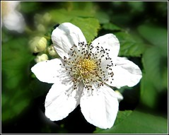 Wild Blackberry Flower .. (** Janets Photos **) Tags: uk plants flora wildflowers fruits brambles blackberries