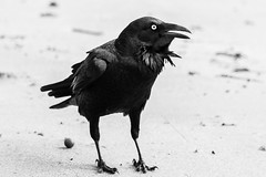 Raven, Sydney 2011  #3928 (lynnb's snaps) Tags: 2011 550d longreef beach birds digital nature sydney canon550d canonef70200mmf4lis canonef14xteleconverter bw blackandwhite bianconero bianconegro blackwhite biancoenero noiretblanc raven ravens australianraven