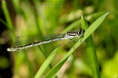 D3X_0356_fl (dmitrytsaritsyn) Tags: dragonfly insect macro nion d3x 105mm r1c1 outdoor f13