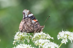 Red Admiral (Brian Dunning) Tags: butterfly redadmiral vanessaatalanta sandiwaylakes cheshire canon eos7dmarkii ef100mmf28lmacroisusm