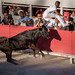 French bull pierces the trousers of the bull fighter