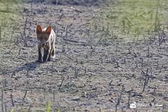 Volpe curiosa (balboni.antonella) Tags: volpi volpe volpino volpina animali mammifero mammiferi oasi fotografia