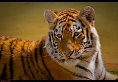 Siberian Cub (~Clubber~) Tags: wild nature cat canon feline wildlife tiger siberian 100400mm torontozoo vosplusbellesphotos flickrbigcats