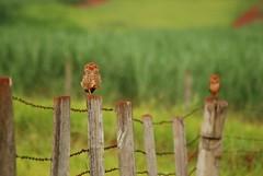Owls (acmoraes) Tags: nature animal brasil sopaulo natureza owl coruja cerca animais campinas arame farpado 70300 barogeraldo nikkor70300