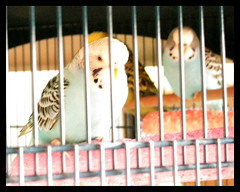 Moonie and Friends, December 2009 (Paula Bird Parent) Tags: bird birds budgie budgies