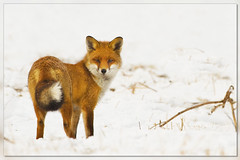 Fox hunt (hvhe1) Tags: winter white snow holland nature animal bravo wildlife naturereserve fox predator reward vulpesvulpes oostvaardersplassen interestingness3 specanimal ovp hvhe1 hennievanheerden