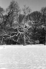 winter tree (Stefaan Vinckevleugel) Tags: blackwhite tmax iso400 eos5